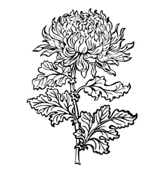 Chrysanthemum flower vector