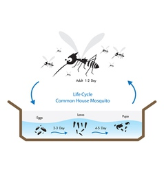 Life cycle mosquito vector