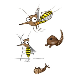 The life cycle of the mosquito vector