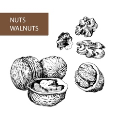 Nuts walnuts vector