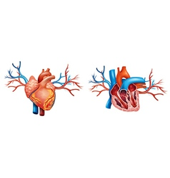 Interior and anterior anatomy of the heart vector