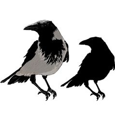 Black crows vector