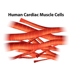 Human cardiac muscle cells vector