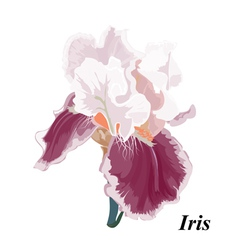 Beautiful iris vector