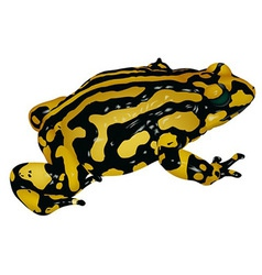 Black yellow frog vector