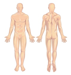 Male body anterior-posterior vector