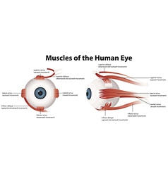 Muscles of the human eye vector