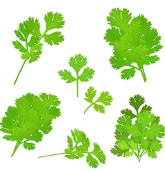 Bunch fresh parsley herb isolated set vector