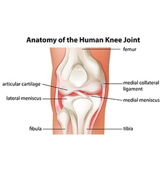 Human knee joint anatomy vector