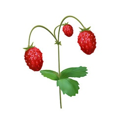 Strawberry on the stem with leaves vector