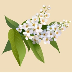 White cherries flowers with leaves vector
