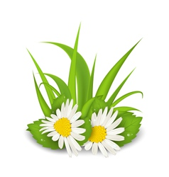 Camomile flowers with grass on white background - vector