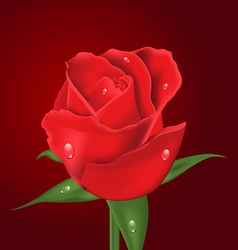 Close-up beautiful realistic rose on red vector