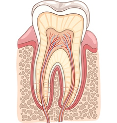 Tooth section medical vector