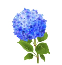 Blue hydrangea isolated vector