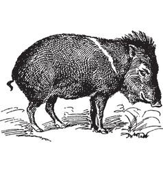 Wild pig vector