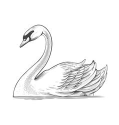 Swan in engraving style vector