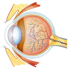 Human eye cross section vector