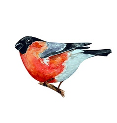 Watercolor painting bullfinch on branch vector