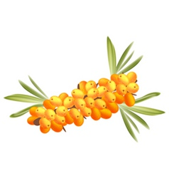 Sea buckthorn berries vector