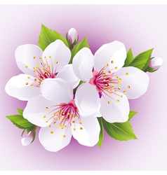 Blossoming sakura branch japanese cherry tree vector