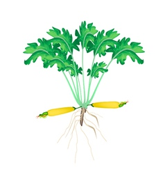 A fresh yellow zucchini plant on white background vector