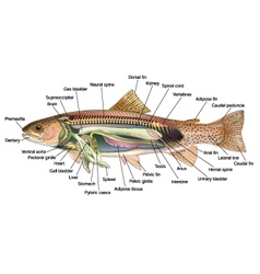 Rainbow trout anatomy vector