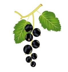 Ripe currant vector