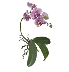 Realistic of phalaenopsis vector