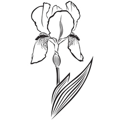 Iris pogon vector