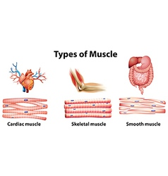 Types of muscle vector