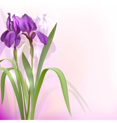Purple iris flowers vector