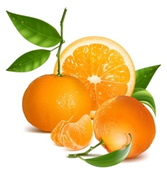 Fresh tangerines with green leaves and orange vector