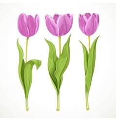 Three purple flowers tulips isolated on a vector