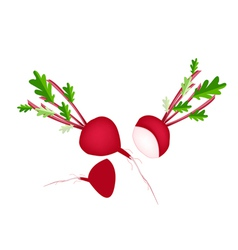 Delicious fresh red radish on white background vector
