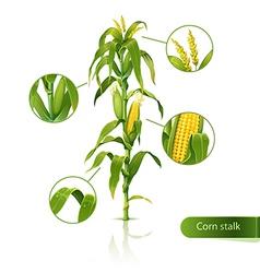 Corn stalk vector