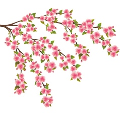 Sakura blossom japanese cherry tree isolated vector