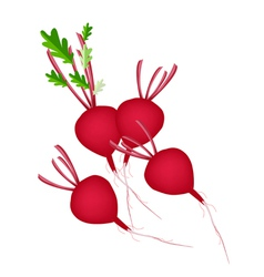 Group of radish or beet on white background vector