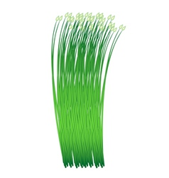 Fresh garlic chives on a white background vector