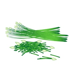 Fresh flowering garlic chives on white background vector