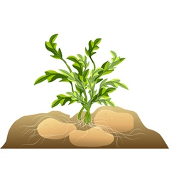 Potato in soil vector