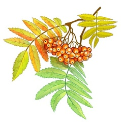 Autumn branch of rowan with vector