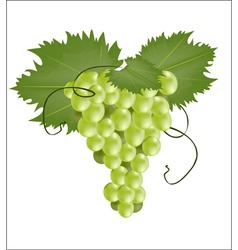 Bunch of green grapes vector