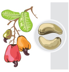 Cashew branch with fruits and leaves vector