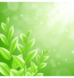 Sbackground green tea leaves vector