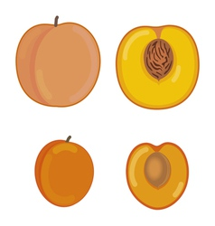 Peach and apricot in a section vector