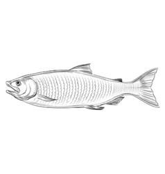 Atlantic salmon vector