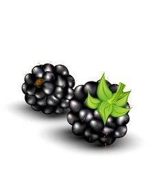 Blackberries on a white background vector