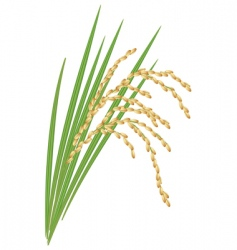 Spikelet of rice vector