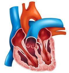 Heart cross-section vector